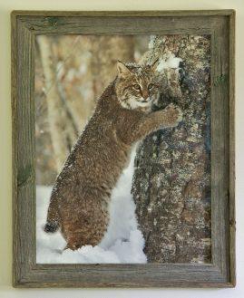 Barnwood Frame with Lynx