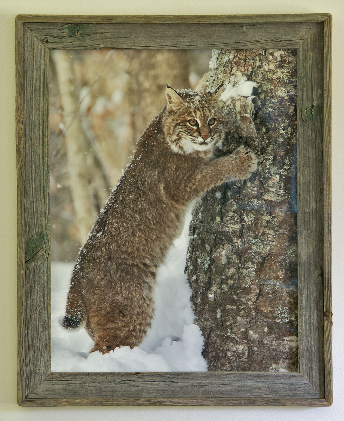 Barnwood Frame with Lynx